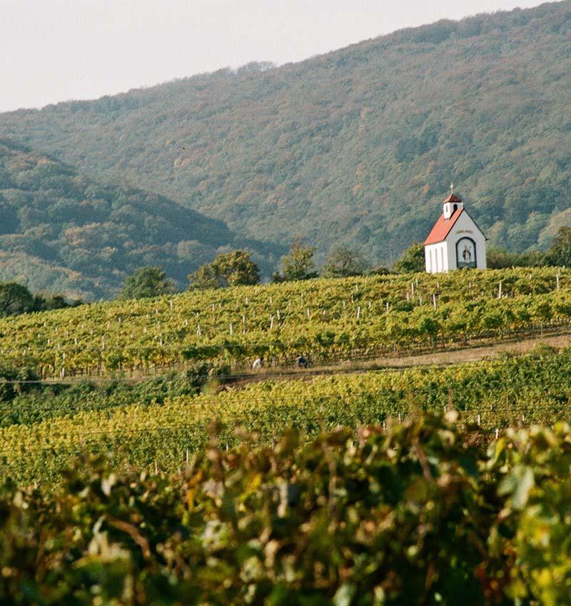 Kaple ve vinici